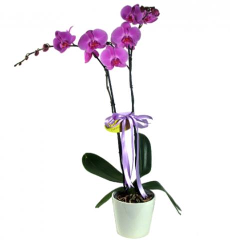 2 Dallı Mor Orkide
